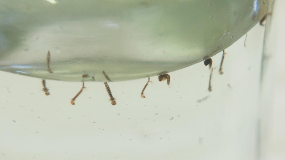 Aedesaegypti_Fischer-web02